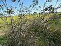 Melaleuca orbicularis habit.jpg