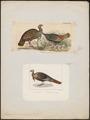 Meleagris americana - 1700-1880 - Print - Iconographia Zoologica - Special Collections University of Amsterdam - UBA01 IZ16900300.tif