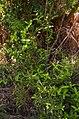 Melodinus australis habit.jpg