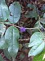 Memecylon umbellatum, commonly known as ironwood,കാശാവ്. കായാവ്, അഞ്നമരം, കനലി, ആനക്കൊമ്പി .jpg