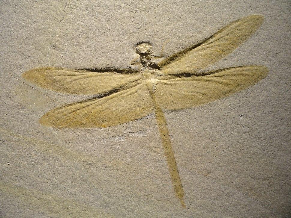Mesurupetala, dragonfly, Late Late Jurassic, Tithonian Age, Solnhofen Lithographic Limestone, Solnhofen, Bavaria, Germany - Houston Museum of Natural Science - DSC01817