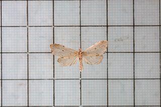 <i>Metaemene</i> Genus of moths