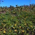 Miami Beach - Sand Dunes Flora - Sea Grapes and Dune Sunflowers 01.jpg