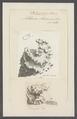 Millepora alcicornis - - Print - Iconographia Zoologica - Special Collections University of Amsterdam - UBAINV0274 111 07 0025.tif