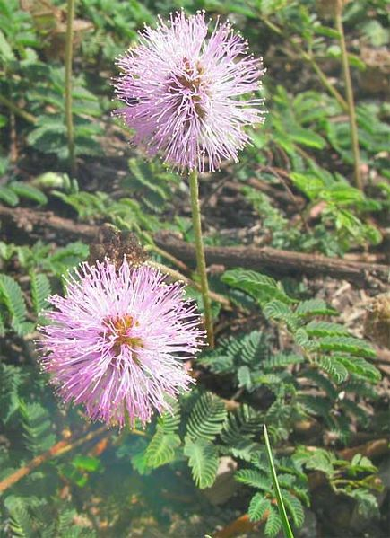 File:Mimosa-flowers-and-sensitive-leaves.jpg