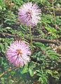 Mimosa-flowers-and-sensitive-leaves.jpg