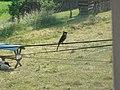 Moineau domestique mâle (Passer domesticus) (02).jpg