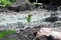 Monarch Butterfly on Milkweed (35218356361).jpg