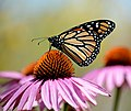 Monarch butterfly on purple coneflower (36030638670).jpg