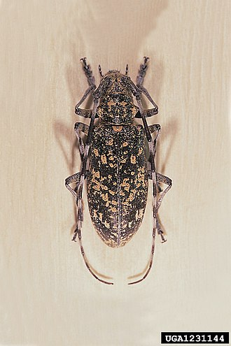 Bursaphelenchus xylophilus - Image: Monochamus saltuarius