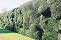 Montacute, haphazard hedging - geograph.org.uk - 1112427.jpg