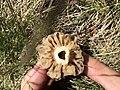 Morchella esculenta 75259632.jpg