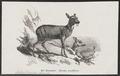 Moschus moschiferus - 1872 - Print - Iconographia Zoologica - Special Collections University of Amsterdam - UBA01 IZ21500202.tif