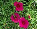 Moss Rose.jpg