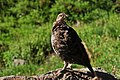 Mount Rainier - September 2017 - White-tailed ptarmigan 12.jpg