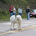 Mountain goats near Mount Rushmore (328817577).jpg