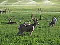 Mule Deer, Washoe Valley, Nevada (20720040314).jpg