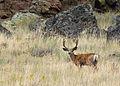 Mule Deer myatt odfw (7591216784).jpg