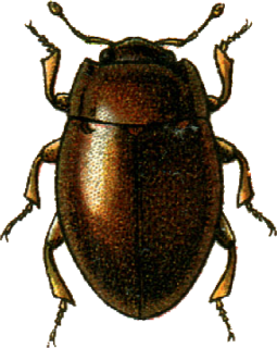 Murmidiidae family of insects