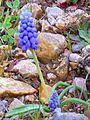 Muscari armeniacum Habitus 2013-3-23 DehesaBoyaldePuertollano.jpg