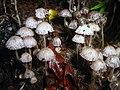 Mushroom collection 3 (2925879376).jpg