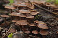 Mushrooms (8964202604).jpg