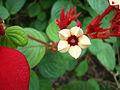 Mussaenda erythrophylla (2).JPG