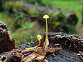 Mycena chusqueophila Singer 886922.jpg