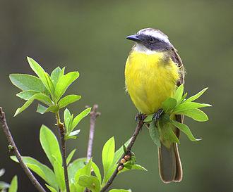 Social flycatcher - Image: Myiozetetes similis 002