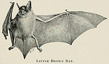 The image is a drawing of a little brown bat