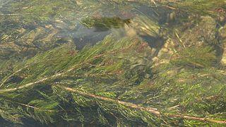 Stolístok klasnatý (lat. Myriophyllum spicatum)