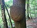 Nádor na stromu.jpg