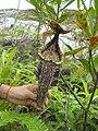 N. rafflesiana1.jpg