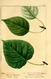 NAS-098f Populus balsamifera.png