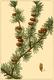 NAS-153d Larix laricina.png