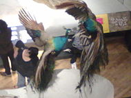 A pair of peacocks fighting