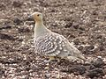 Namaqua Sandgrouse (322376669).jpg