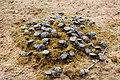 Namibia-dung-beetle-feast.jpg