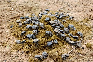 Allot of dung beetles having a feast on horse ...