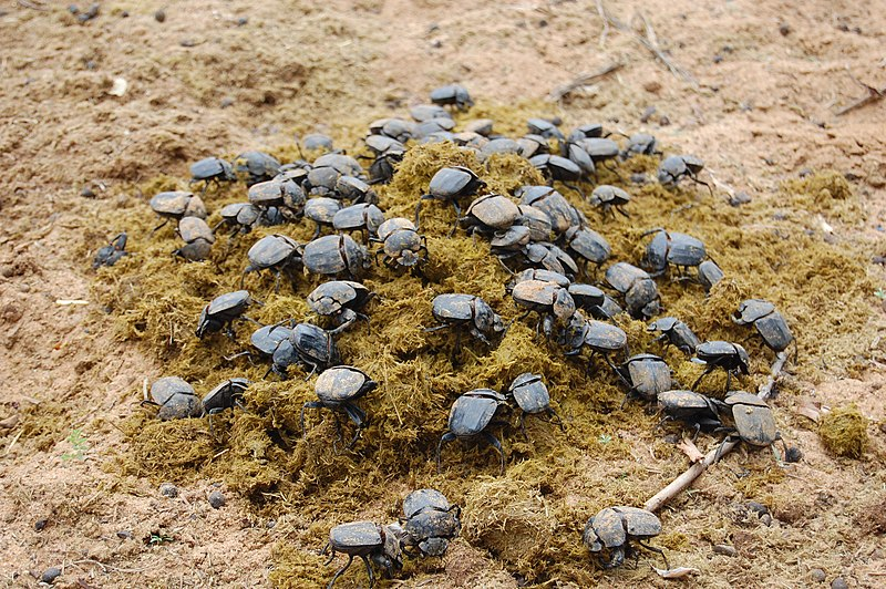 Fichier:Namibia-dung-beetle-feast.jpg