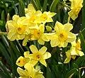 Narcissus Accent 0zz.jpg