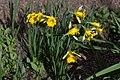 Narcissus confusus GotBot 2015 001.jpg