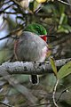Narrow billed tody 3.jpg