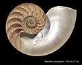 Nautilus pompilius (YPM IZ 022690) 001.jpeg