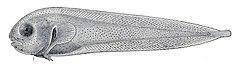 240px nectoliparis pelagicus