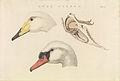 Nederlandsche vogelen (KB) - Cygnus cygnus (492b).jpg