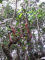 Nedwardsiana plant.jpg