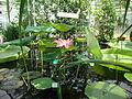 Nelumbo nucifera - Intianlootus, Indisk lotus, Indian lotus DSC07901 C.JPG