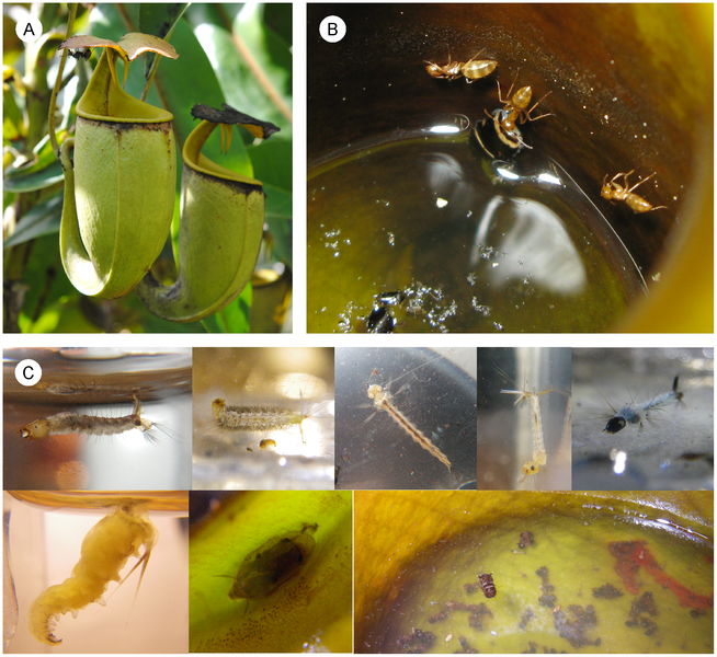 File:Nepenthes bicalcarata, Camponotus schmitzi and fly larvae.png