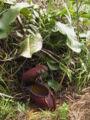 Nepenthesrajahplant.jpg